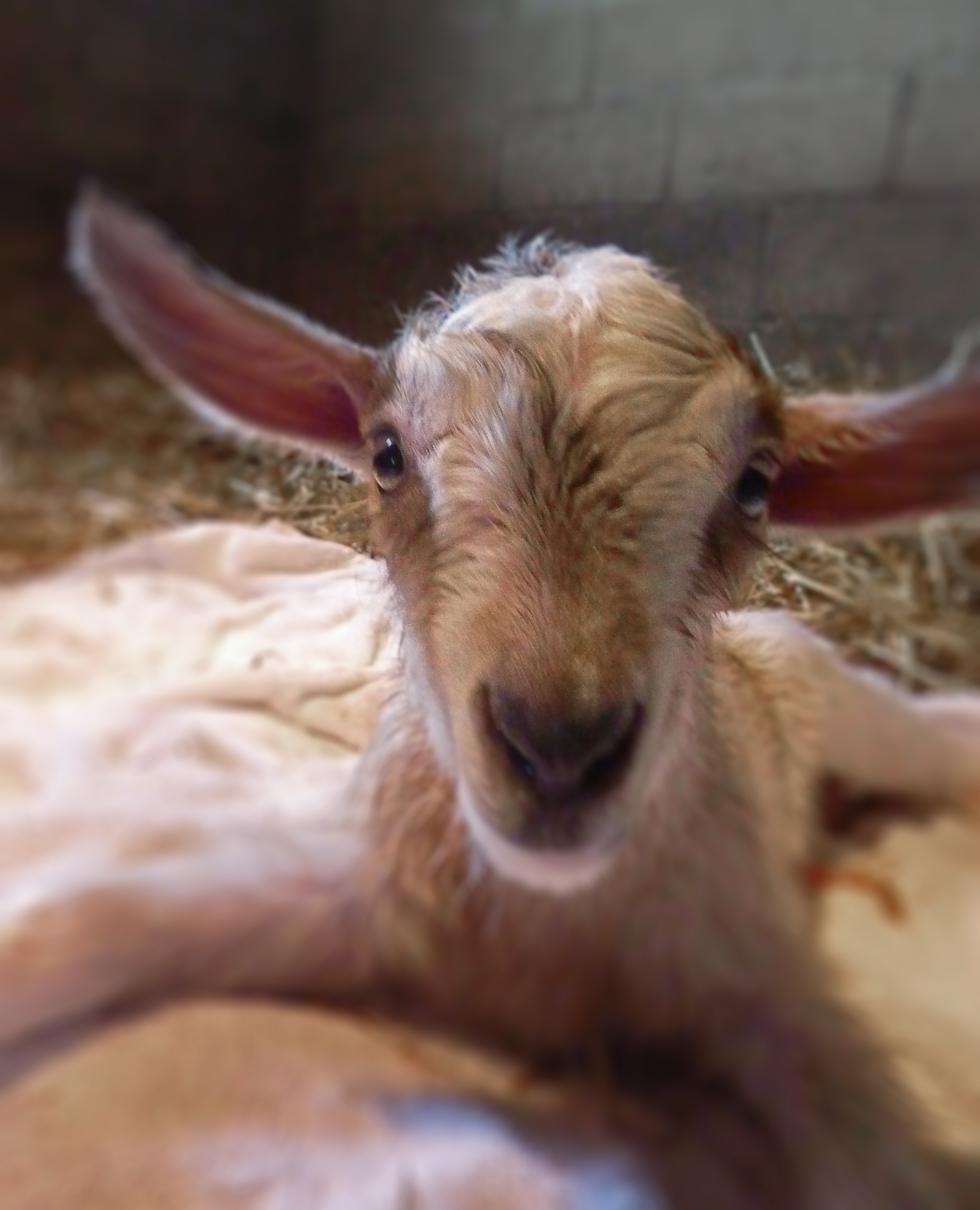 dairy goats | fast grow the weeds